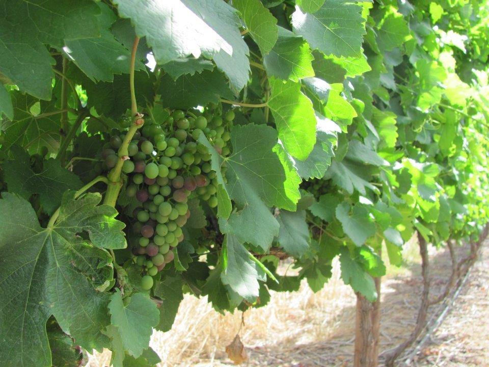 Rudera Wines - Syrah bunches starting to get some colour